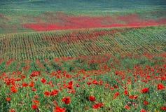 Grönt gräs och röda blommor Arkivbilder
