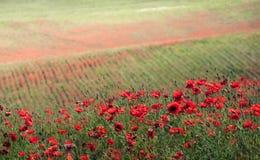 Grönt gräs och röda blommor Arkivbild