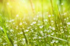 Grönt gräs och små vita blommor på fältet Royaltyfria Foton
