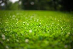 Grönt gräs och växt av släktet Trifolium Fotografering för Bildbyråer