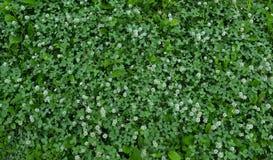 Grönt gräs och vit växt av släktet Trifolium Royaltyfri Foto