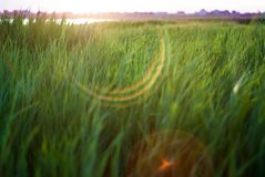 Grönt gräs på en solnedgångbakgrund Bakgrund textur royaltyfri foto