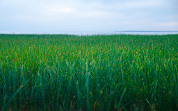 Grönt gräs på havskusten av det Azov havet Royaltyfria Bilder