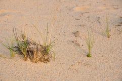 Grönt gräs på sanden Fotografering för Bildbyråer