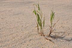 Grönt gräs på sanden Arkivbilder