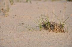 Grönt gräs på sanden Arkivbild