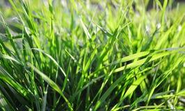 Grönt gräs på solig dag Arkivfoto