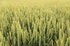 Grönt gräs, skörd, vete mot himlen Royaltyfria Bilder