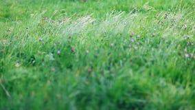 Grönt gräs som är rört vid sommarvind på frodig äng stock video
