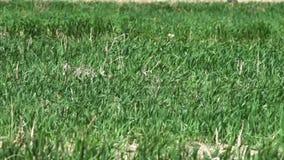 Grönt gräs som prasslar i vinden lager videofilmer