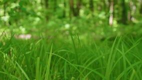 Grönt gräs som svänger i vinden i skogen stock video