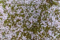 Grönt gräs som täckas med flera stupade Sakura sidor Fotografering för Bildbyråer