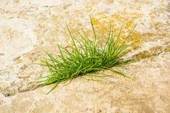 Grönt gräs växer från stenen Royaltyfria Foton