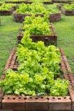 Grönt grönsallatfält Royaltyfri Foto