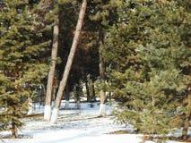 GRÖNT gran-träd I VIT SNÖ, I LÅNGT PLAN arkivbild