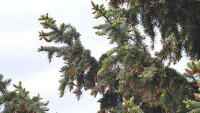 Grönt granträd många kottar arkivfilmer