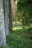 Grönt granträd och pinjeskog av Lettland Royaltyfria Foton