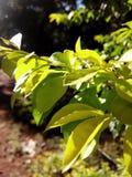 Grönt gulaktigt blad i solljus royaltyfria foton