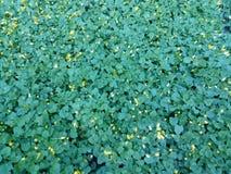 Grönt gult blommande änggräs Arkivfoto