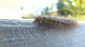 Grönt hårigt gå för larv lager videofilmer