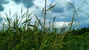 Grönt högt gräs mot en härlig himmel royaltyfri foto