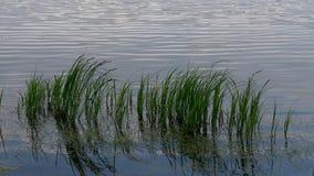 Grönt högväxt gräs i vattnet i vinden stock video