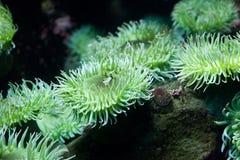 grönt hav för anemon Arkivbild