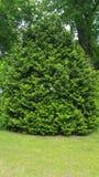 Grönt holländskt träd Royaltyfri Fotografi