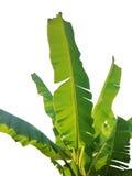 Grönt isolerat bananblad royaltyfri bild