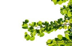 grönt isolerat cocountblad av palmträdet Arkivfoto