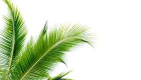 grönt isolerat cocountblad av palmträdet Arkivfoton