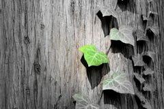 Grönt ivysblad för vår på trädet Arkivfoto