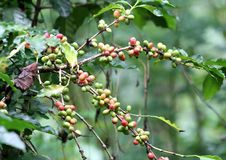 Grönt kaffe Arkivfoton