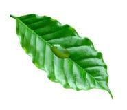 Grönt kaffeblad med vattendroppe Royaltyfri Bild