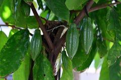 Grönt kakaoträd Arkivbild
