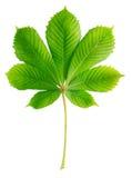 Grönt kastanjebrunt blad Arkivfoton
