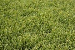 Grönt korn Arkivbild