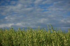 Grönt korn Fotografering för Bildbyråer