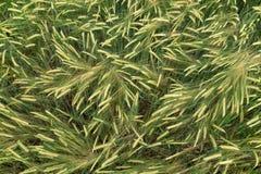 Grönt korn i tillväxt royaltyfria foton