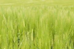Grönt korn sätter in Arkivbild
