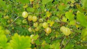 Grönt krusbär Bush i trädgården royaltyfria foton