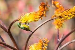 Grönt kvinnligt sunbirdsammanträde på gul aloe får nektar Arkivfoton