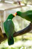 Grönt kyssa för papegoja Royaltyfria Bilder