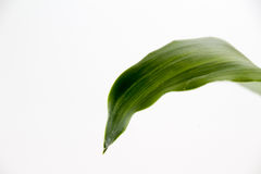 Grönt långt växtblad Arkivfoto