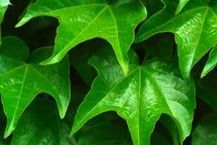 grönt lövrikt Royaltyfria Bilder