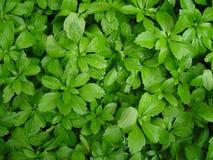 grönt lövrikt för bakgrund Royaltyfria Bilder