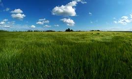grönt landmarkvete Arkivfoton