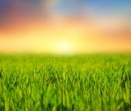 Grönt lantligt fält på den tysta solnedgången Fotografering för Bildbyråer