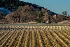 Grönt lavanderfält i Provence, Frankrike Royaltyfri Fotografi
