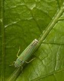 Grönt leafhopperkryp på ett blad royaltyfria foton